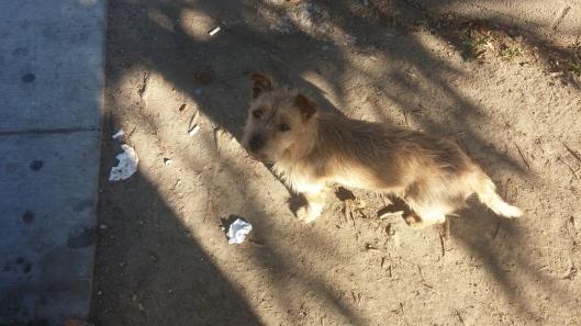 norwich-terrier