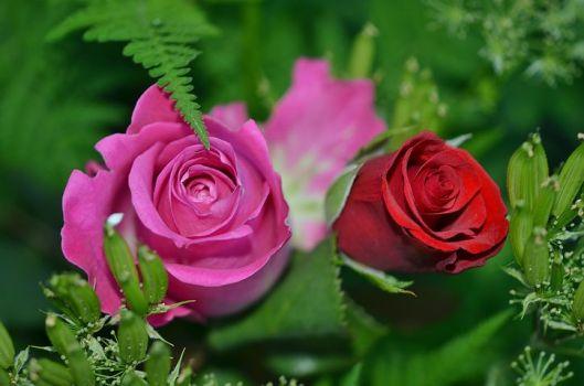 roses-208980__480